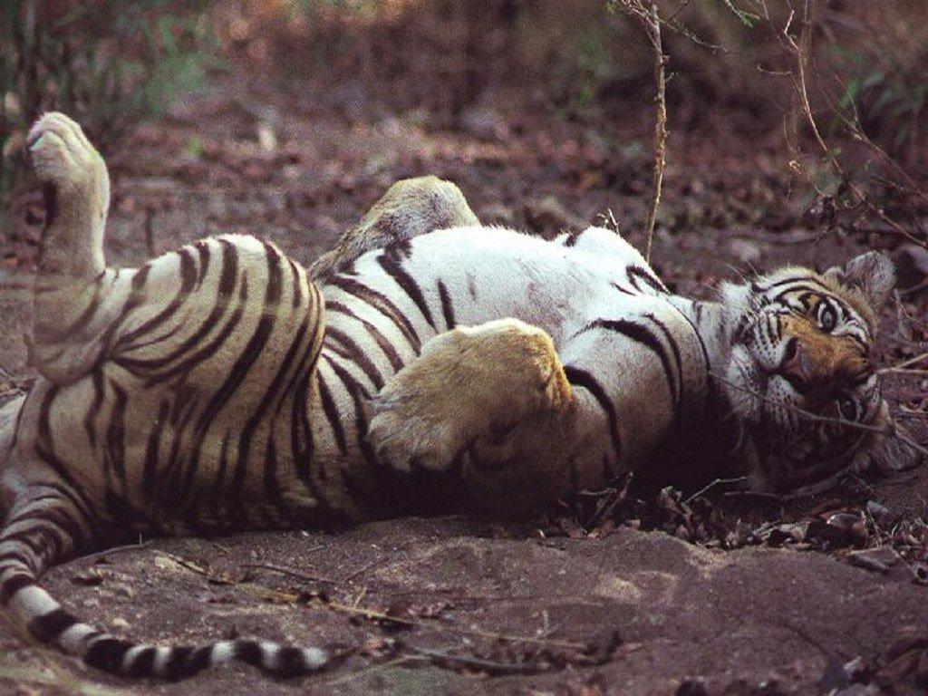 世界上最可爱的成年动物就属老虎了